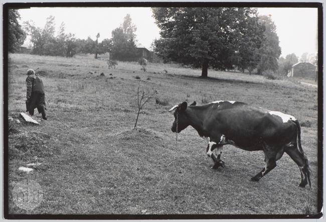 Habajka (Anna Habaj) - kobieta, krowa, 1985-1989, fot. Stanisław Ciok, MHF
